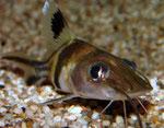 Pimelodus ornatus juvenil: Durch den recht großen Kopf mit seinen ausdrucksstarken Augen üben vor allem junge Exemplare wie dieses auf den Betrachter eine starke Anziehungskraft aus.