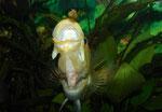 Im Aquarium lässt sich Petenia splendida (allerdings nur als Jungtier!) gut an Futter-Pellets (hier Maxi-Größe für Störe) gewöhnen - nach ihnen schnappen diese Cichliden bald genauso gierig wie nach Fischen.