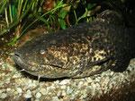 Cephalosilurus nigricaudus (adult)