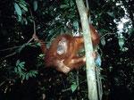 Die wilden Orang-Utans waren sehr scheu, kaum tauchte einer im Geäst auf, flüchtete er auch schon wieder, sobald er uns entdeckte.