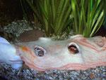 Clarias batrachus: Das Froschwelsweibchen dringt dabei sogar in das Versteck ein.