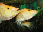 Rivalisierende Männchen von Petenia splendida (Gefleckter Raubbuntbarsch, Bay snook), hier gelborange Farbmorphe