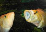 Petenia splendida: Fischjäger, der blitzartig vorschnellt und seine Beute mit dem riesigen Maul verschlingt.