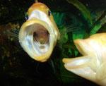 Petenia splendida: Beim Nahrungsfang wird das Maul weit vorgestülpt - es entsteht ein gewaltiger Sog, so dass die Pellets regelrecht in das Maul dieser Buntbarschart zu fliegen scheinen.