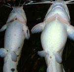Clarias batrachus: Geschlechtsunterschiede (Weibchen rechts)