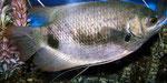 Asiatische Fische wie diesen Labyrinther traf man nicht häufig im Petshop an.