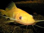 """Hemibagrus nemurus: Variante """"Yellow Mystus"""""""