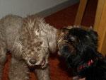 Bedlington Terrier & Yorkshire Terrier