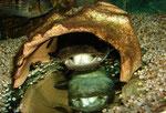 Cephalosilurus fowleri mit einem größeren Fischhappen im Maul