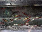 Rote Neons (Paracheirodon axelrodi): Offenkundig hat sich die Natur darauf eingestellt. Eine Ausrottung der Neonfische durch den Fang, so wie es so manche europäische Umweltschützer voraussagen, ist hier nicht möglich.