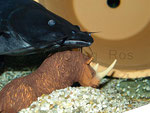 """Black Devil Catfish"""