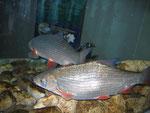 Aquarium im Informationszentrum Fischtreppe Staustufe Gambsheim/Rheinau
