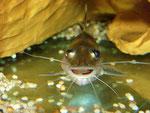 Pimelodus ornatus: ... wie man hier und in den folgenden Aufnahmen unschwer sehen kann.