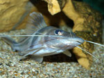 Pimelodus ornatus: ... und kommt dann sogar noch näher an die Frontscheibe geschwommen.