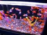 Die Lieblingsfische der Chinesen sind immer noch die Goldfische.
