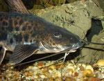 Calophysus macropterus: Gleich schnappt sich der Wels den am Boden liegenden Fischbrocken.