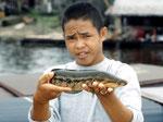 Dieser Gefleckte Schlangenkopffisch (Channa marculata) wird lebend als Speisefisch nach Singapur verkauft.