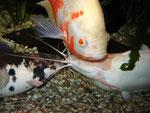 Pfauenaugenbuntbarsch zusammen mit zwei Froschwelsen (Clarias batrachus)