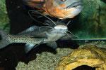 Aguarunichthys torosus und Astronotus ocellatus