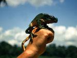 Das – etwas kleiner bleibende – Männchen des Makifrosches (Phyllomedusa bicolor). Die Mayoruna pieksen den zuvor gefesselten Frosch mit spitzen Stöcken so lange, bis er sein Gift absondert. Dieses reiben sie sich in selbst herbeigeführte Brandwunden.