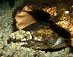 Cephalosilurus fowleri legt mit dem Kopf seine Höhle von Kies frei.