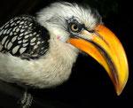 Gelbschnabeltoko (Tockus leucomelas)