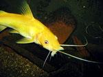 """Hemibagrus nemurus (Variante """"Yellow Mystus"""") beim Fressen"""