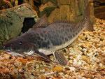 Calophysus macropterus: adultes Exemplar
