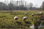 Eine Schafsherde hält die Gräser kurz