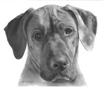 In loving memory of Ozi the Rhodesian Ridgeback