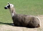 ...bei den Lamas