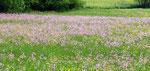 Blumenwiese bei Planina