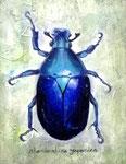rhomborrhina japonica (個人蔵)