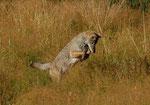 Fuchs Yellowstone NP