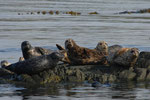 Harbour Seals (Seehunde) Vacouver Island - Telegraphe Cove