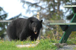 Black Bear Vacouver Island - Telegraphe Cove