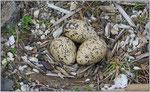 Nest vom Austernfischer