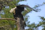 Bald Eagle Vacouver Island - Telegraphe Cove