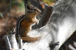 Ziesel Eichhörnchen Yellowstone NP
