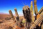 Kaktus, Reserva Nacional Las Vicunas, Chile