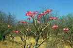 Blüten der Desert-Rose, Omo-Nationalpark