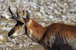 Gabelbock-Antilope, Texas