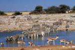 Springböcke und Zebras, Wasserstelle Okaukuejo, Etosha Nationalpark