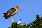 Marabu und Heiliger Ibis, Ziway-See