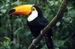 Riesentukan (Ramphastos toco), Iguazu Nationalpark, Brasilien