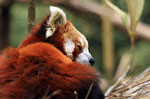 Kleiner Panda (Ailurus fulgens), Zoo Darjeeling