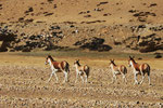 Kiang oder Tibet-Wildesel (Equus kiang), Tibet