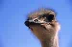 Strauß, Kalahari Game Reserve