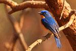 Zwergfliegenschnäpper, Ranthambore Nationalpark, Rajasthan