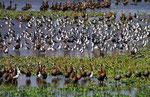 Ansammlung von Wasservögeln, Hato El Cedral, Llanos